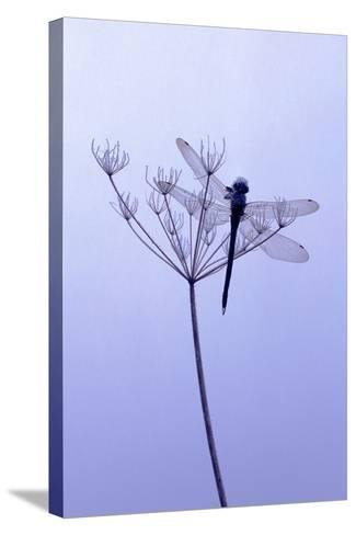 Dragonfly, Plant, [M-Herbert Kehrer-Stretched Canvas Print