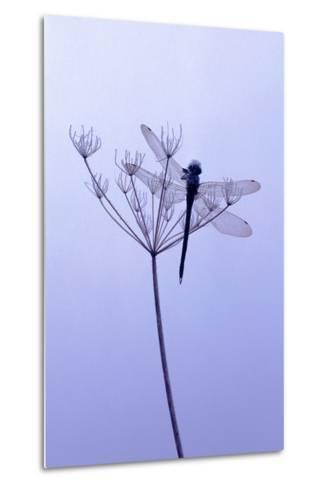Dragonfly, Plant, [M-Herbert Kehrer-Metal Print