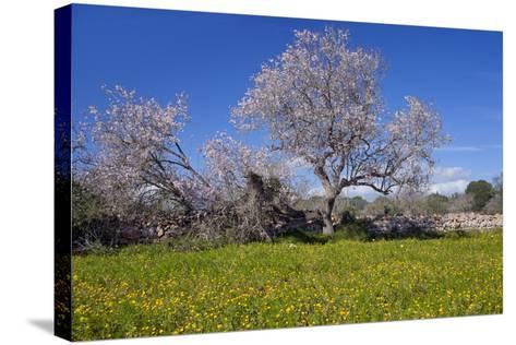 Europe, Spain, Majorca, Meadow, Almond, Almond Blossom, Yellow Flowers-Chris Seba-Stretched Canvas Print