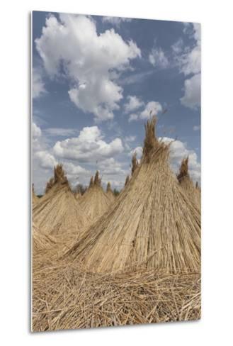 Bundled Up Reed Picked Up to Dry, Lake Neusiedl National Park, Seewinkl, Burgenland, Austria-Gerhard Wild-Metal Print