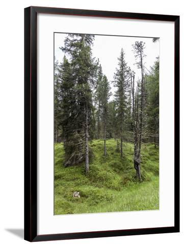Forest at the Bottom of the Sas Dla Crusc, St. Leonhard Close Abtei, South Tyrol, Italy, Europe-Gerhard Wild-Framed Art Print