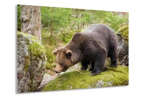 Brown Bear (Ursus Arctos) Looking from the Rock, Bavarian Forest National Park, Bavarians, Germany-Dieter Meyrl-Metal Print
