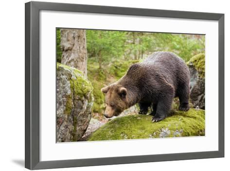 Brown Bear (Ursus Arctos) Looking from the Rock, Bavarian Forest National Park, Bavarians, Germany-Dieter Meyrl-Framed Art Print