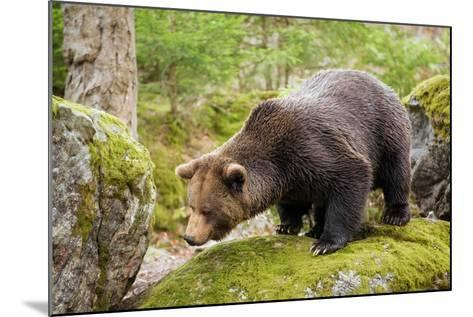 Brown Bear (Ursus Arctos) Looking from the Rock, Bavarian Forest National Park, Bavarians, Germany-Dieter Meyrl-Mounted Photographic Print