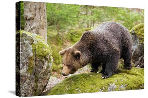 Brown Bear (Ursus Arctos) Looking from the Rock, Bavarian Forest National Park, Bavarians, Germany-Dieter Meyrl-Stretched Canvas Print