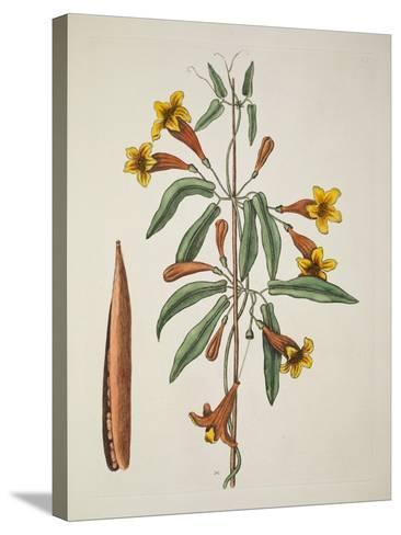 Bignonia Americana-Mark Catesby-Stretched Canvas Print