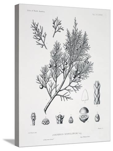Juniperus Scopulorum (Rocky Mountain Juniper)-Charles Edward Faxon-Stretched Canvas Print