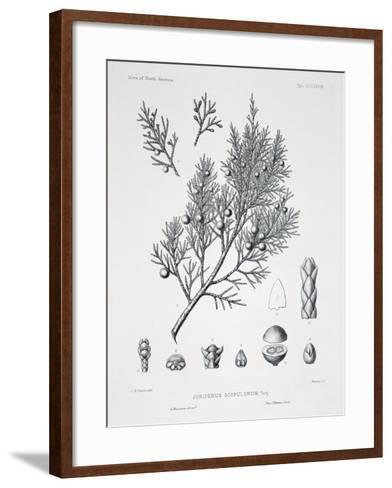 Juniperus Scopulorum (Rocky Mountain Juniper)-Charles Edward Faxon-Framed Art Print