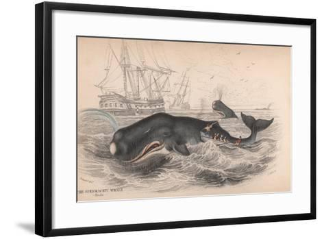 Spermaceti Whale-Robert Hamilton-Framed Art Print