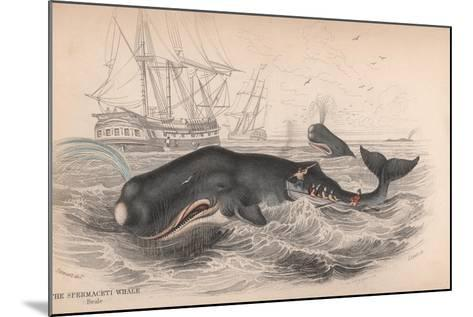 Spermaceti Whale-Robert Hamilton-Mounted Giclee Print