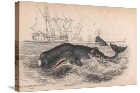 Spermaceti Whale-Robert Hamilton-Stretched Canvas Print