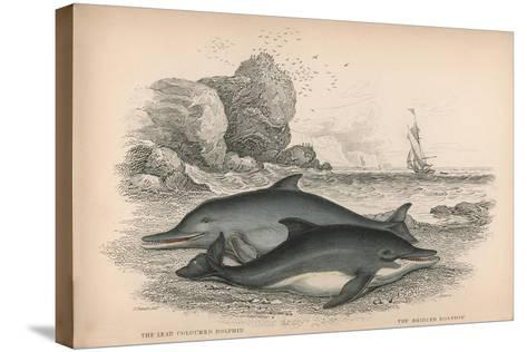 The Lead Coloured Dolphin and the Bridled Dolphin-Robert Hamilton-Stretched Canvas Print