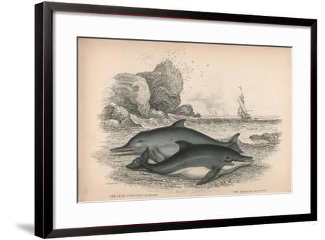 The Lead Coloured Dolphin and the Bridled Dolphin-Robert Hamilton-Framed Art Print