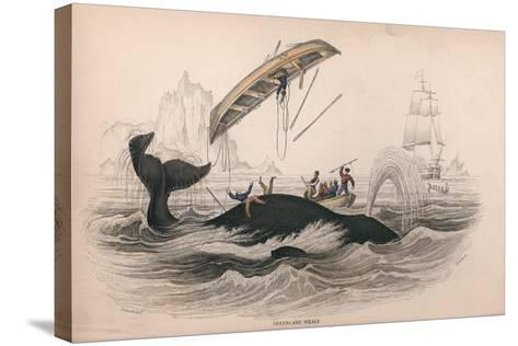 Greenland Whale-Robert Hamilton-Stretched Canvas Print