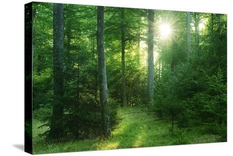 The Morning Sun Is Breaking Through Nearly Natural Beeches Mixed Forest, Spessart Nature Park-Andreas Vitting-Stretched Canvas Print
