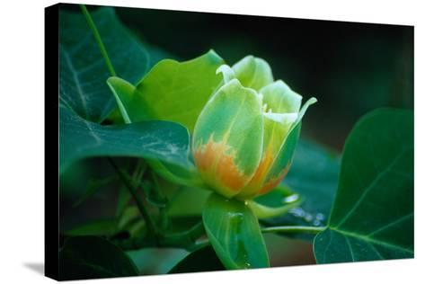 Blossom of a Tulip Poplar or Tulip Tree-Gregg Vicik-Stretched Canvas Print
