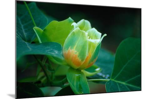 Blossom of a Tulip Poplar or Tulip Tree-Gregg Vicik-Mounted Photographic Print