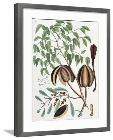 The Mahogany Tree (Arbor Folis Pinnatis)-Mark Catesby-Framed Art Print