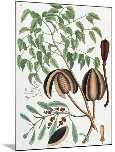 The Mahogany Tree (Arbor Folis Pinnatis)-Mark Catesby-Mounted Giclee Print