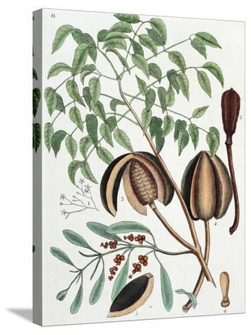 The Mahogany Tree (Arbor Folis Pinnatis)-Mark Catesby-Stretched Canvas Print