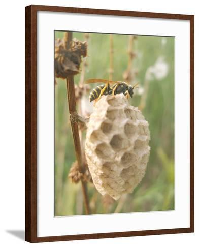 Paper Wasp Building Honeycomb-Harald Kroiss-Framed Art Print