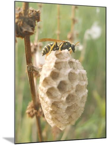 Paper Wasp Building Honeycomb-Harald Kroiss-Mounted Photographic Print
