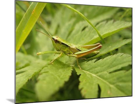 Small Gold Grasshopper on Leaf-Harald Kroiss-Mounted Photographic Print