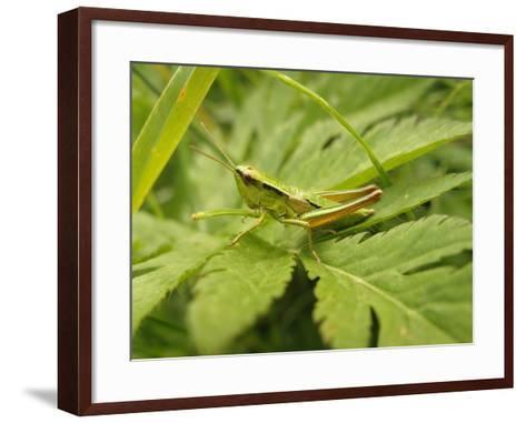 Small Gold Grasshopper on Leaf-Harald Kroiss-Framed Art Print