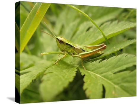 Small Gold Grasshopper on Leaf-Harald Kroiss-Stretched Canvas Print