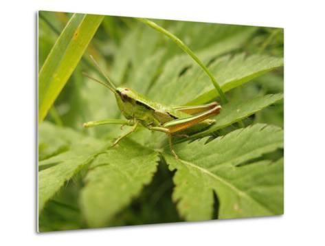 Small Gold Grasshopper on Leaf-Harald Kroiss-Metal Print