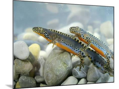 Alpine Newts, Side View, Two, Male-Harald Kroiss-Mounted Photographic Print