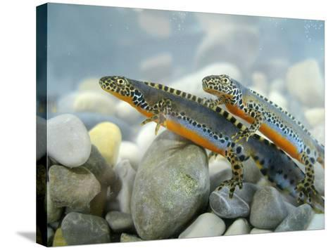 Alpine Newts, Side View, Two, Male-Harald Kroiss-Stretched Canvas Print