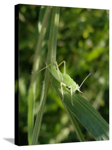 Tettigonia Cantans Grasshopper, Female Young Animal, Nymph, Female-Harald Kroiss-Stretched Canvas Print