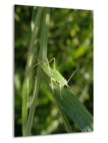 Tettigonia Cantans Grasshopper, Female Young Animal, Nymph, Female-Harald Kroiss-Metal Print