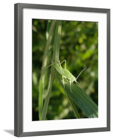 Tettigonia Cantans Grasshopper, Female Young Animal, Nymph, Female-Harald Kroiss-Framed Art Print