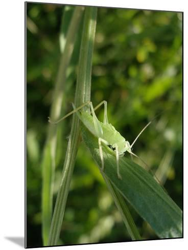 Tettigonia Cantans Grasshopper, Female Young Animal, Nymph, Female-Harald Kroiss-Mounted Photographic Print