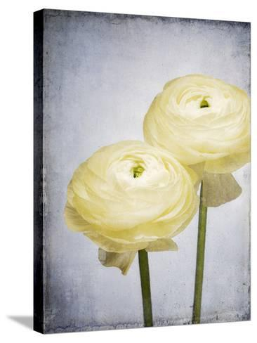 Ranunculus, Flower, Blossoms, White, Still Life-Axel Killian-Stretched Canvas Print