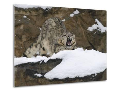Snow Leopard, Irbis, Panthera Uncia, Young Animal, Stretch, Yawn-Andreas Keil-Metal Print