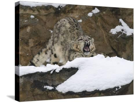 Snow Leopard, Irbis, Panthera Uncia, Young Animal, Stretch, Yawn-Andreas Keil-Stretched Canvas Print
