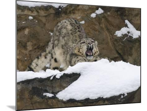 Snow Leopard, Irbis, Panthera Uncia, Young Animal, Stretch, Yawn-Andreas Keil-Mounted Photographic Print