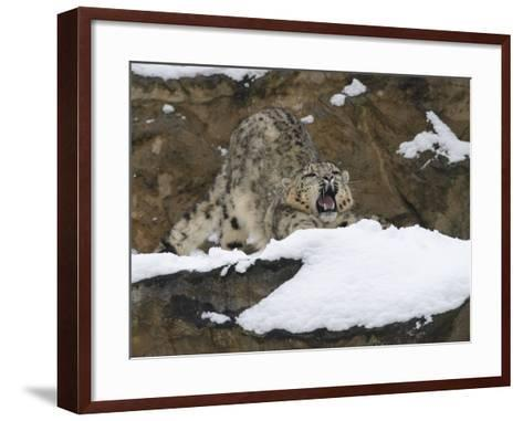Snow Leopard, Irbis, Panthera Uncia, Young Animal, Stretch, Yawn-Andreas Keil-Framed Art Print