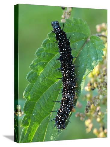 Caterpillar, Peacock Butterfly, Stinging Nettle-Harald Kroiss-Stretched Canvas Print