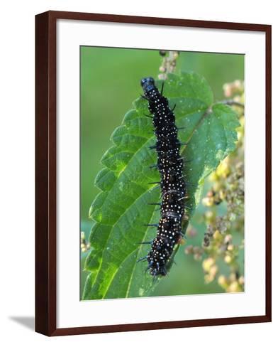 Caterpillar, Peacock Butterfly, Stinging Nettle-Harald Kroiss-Framed Art Print
