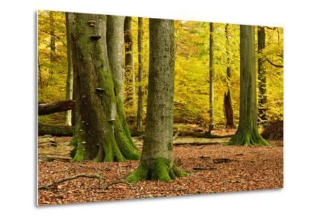Nearly Natural Mixed Deciduous Forest with Old Oaks and Beeches in Autumn, Spessart Nature Park-Andreas Vitting-Metal Print