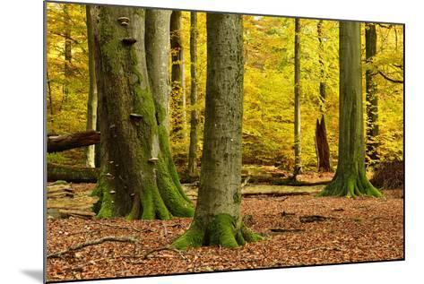 Nearly Natural Mixed Deciduous Forest with Old Oaks and Beeches in Autumn, Spessart Nature Park-Andreas Vitting-Mounted Photographic Print