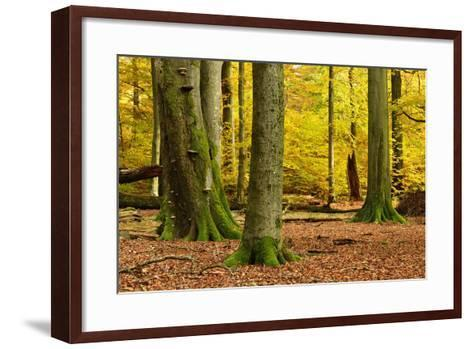 Nearly Natural Mixed Deciduous Forest with Old Oaks and Beeches in Autumn, Spessart Nature Park-Andreas Vitting-Framed Art Print
