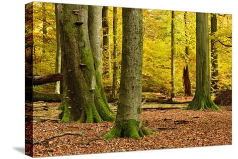 Nearly Natural Mixed Deciduous Forest with Old Oaks and Beeches in Autumn, Spessart Nature Park-Andreas Vitting-Stretched Canvas Print