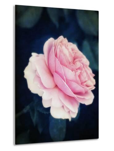 A Pink Blooming Garden Rose-Alaya Gadeh-Metal Print