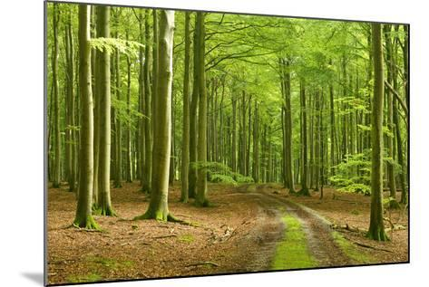 Footpath Through Near-Natural Beech Forest, Stubnitz, Island R?gen-Andreas Vitting-Mounted Photographic Print