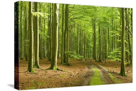 Footpath Through Near-Natural Beech Forest, Stubnitz, Island R?gen-Andreas Vitting-Stretched Canvas Print